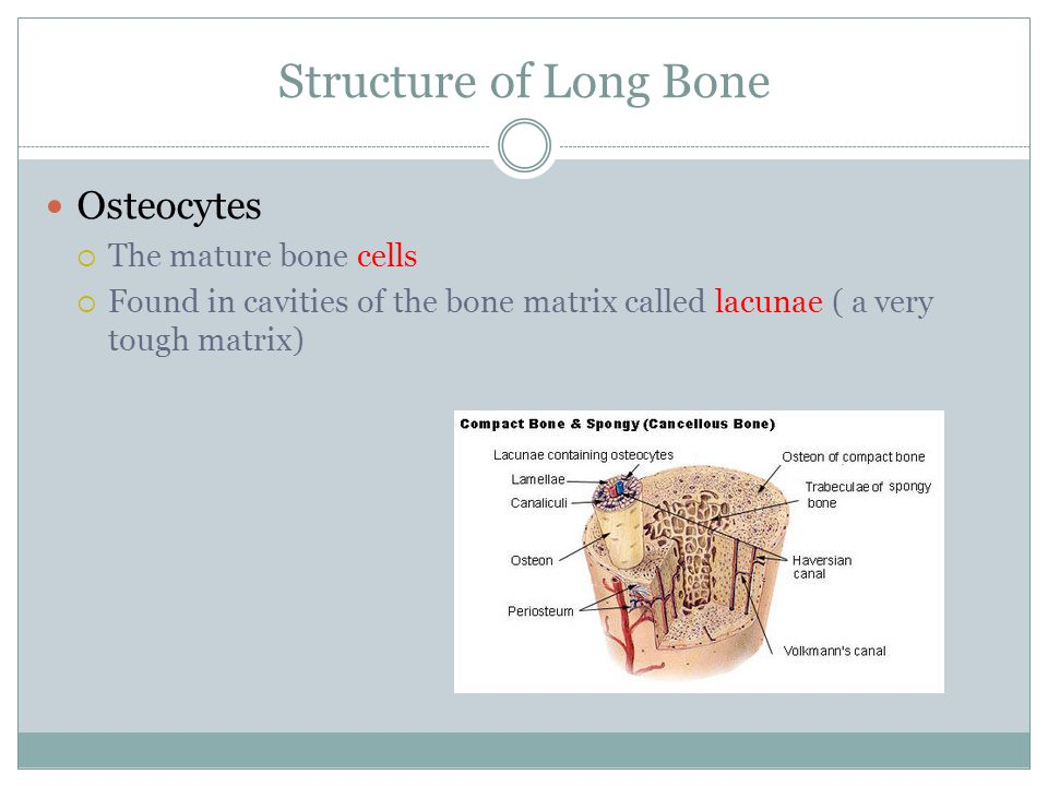 Structure of Long Bone Osteocytes The mature bone cells
