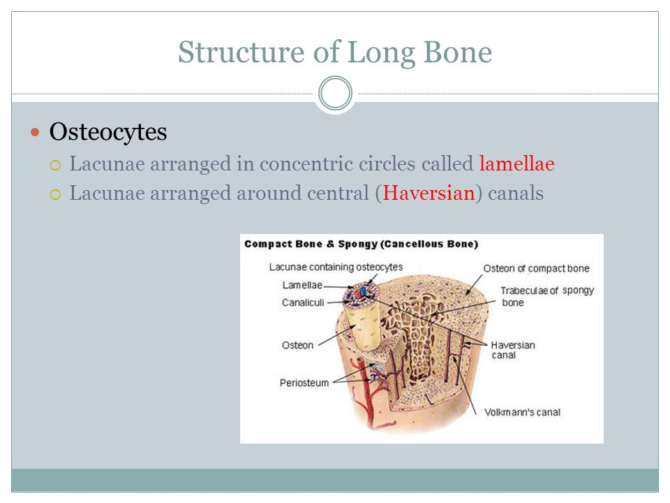 Structure of Long Bone Osteocytes
