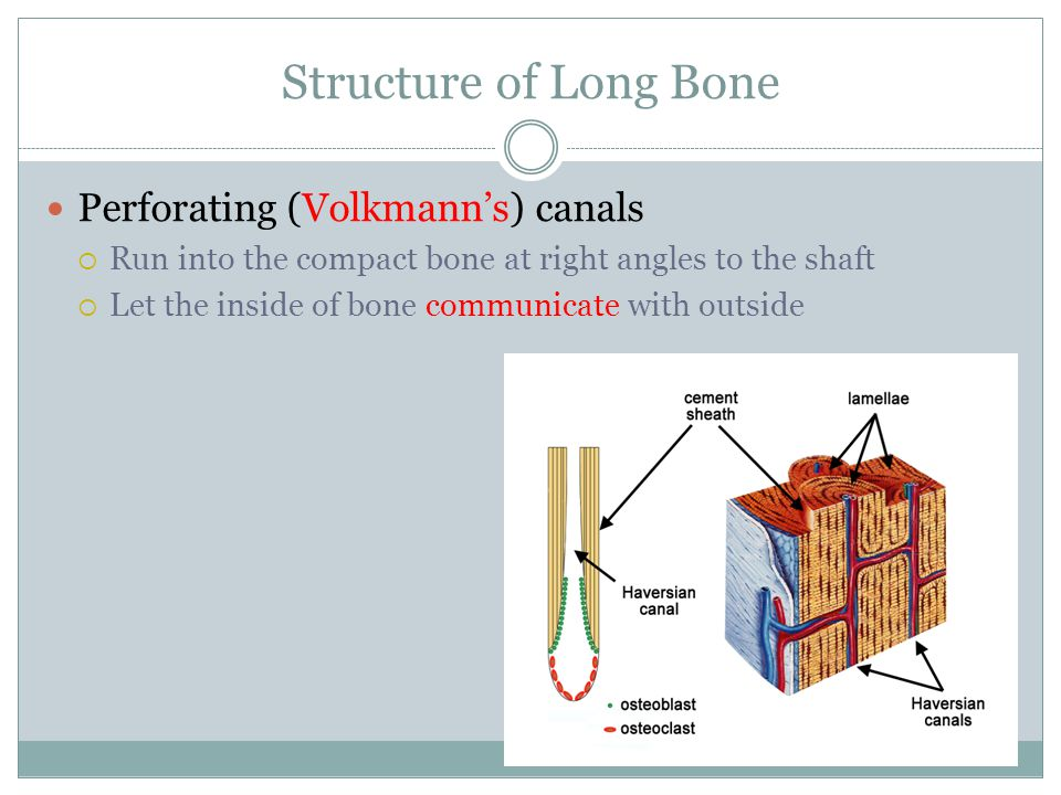 Structure of Long Bone Perforating (Volkmann's) canals