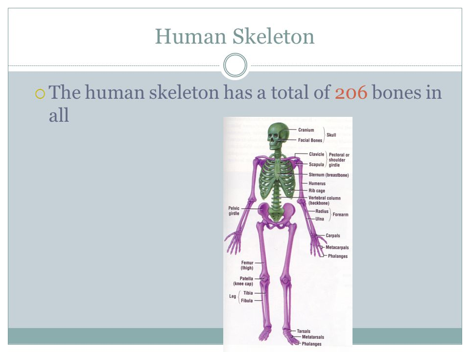 Human Skeleton The human skeleton has a total of 206 bones in all