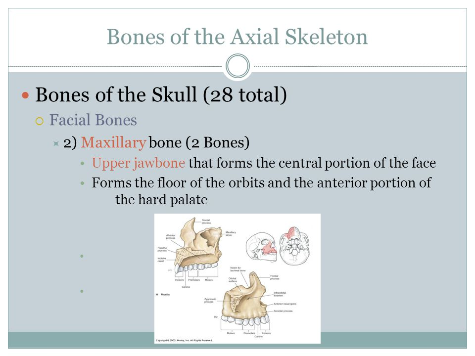 Bones of the Axial Skeleton