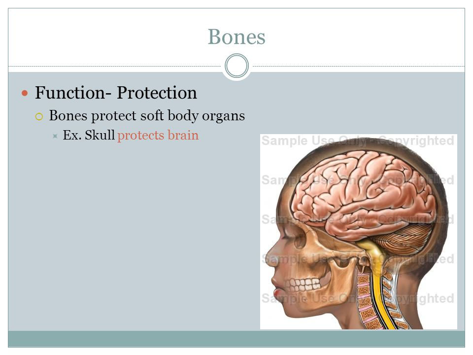 Bones Function- Protection Bones protect soft body organs