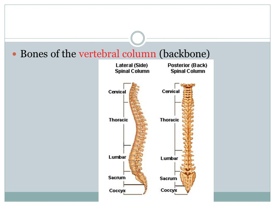 Bones of the vertebral column (backbone)
