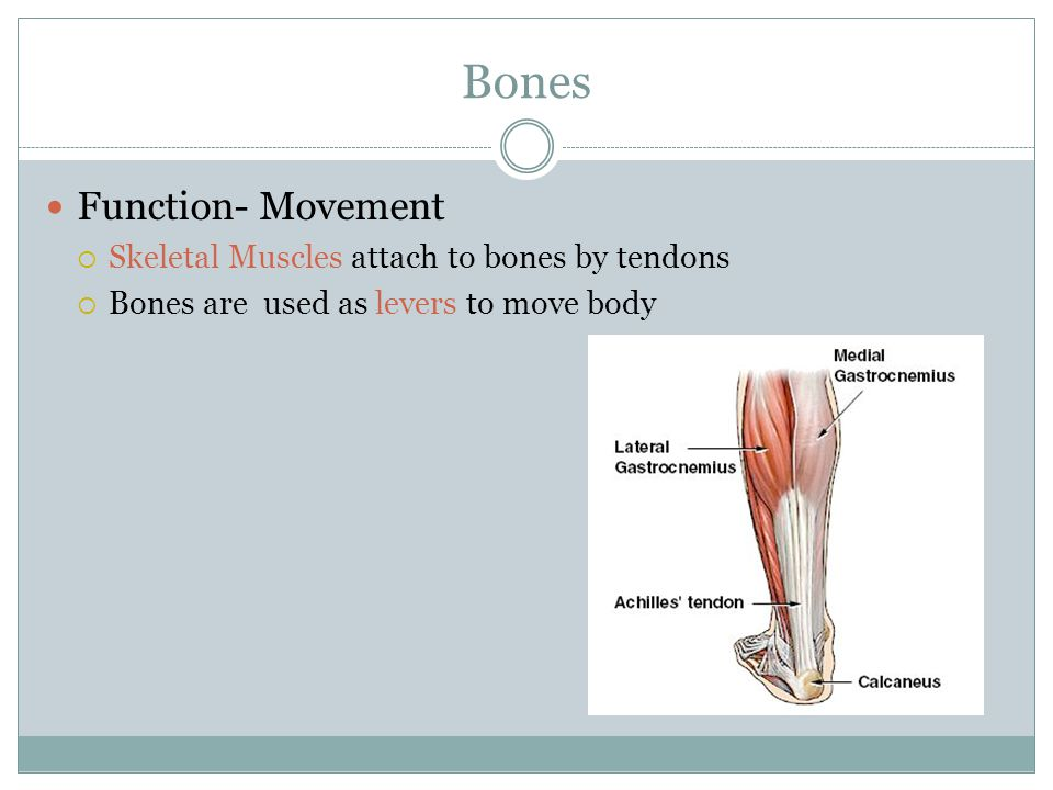 Bones Function- Movement Skeletal Muscles attach to bones by tendons
