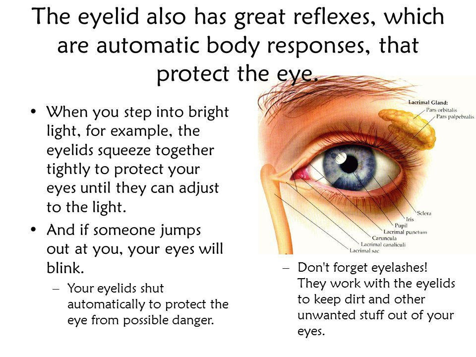The eyelid also has great reflexes, which are automatic body responses, that protect the eye.