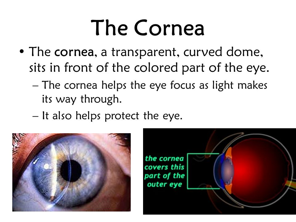 The Cornea The cornea, a transparent, curved dome, sits in front of the colored part of the eye.