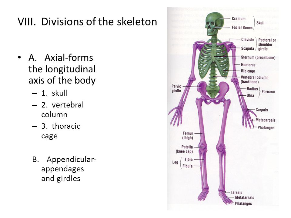 VIII. Divisions of the skeleton
