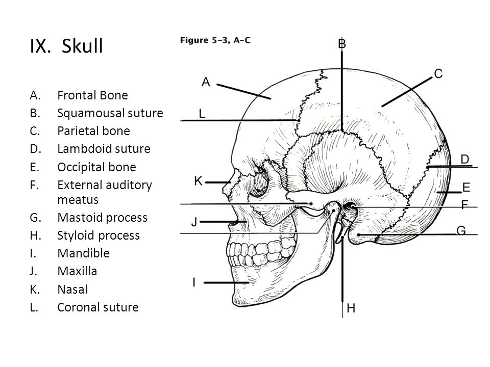 IX. Skull Frontal Bone Squamousal suture Parietal bone Lambdoid suture