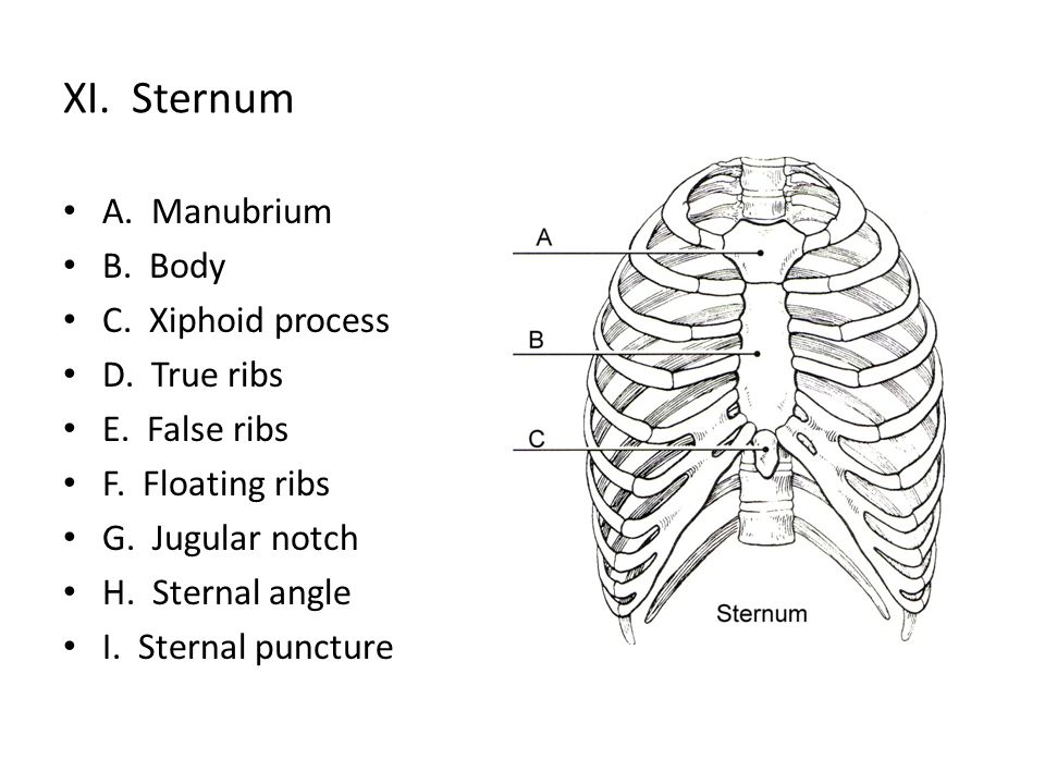 XI. Sternum A. Manubrium B. Body C. Xiphoid process D. True ribs