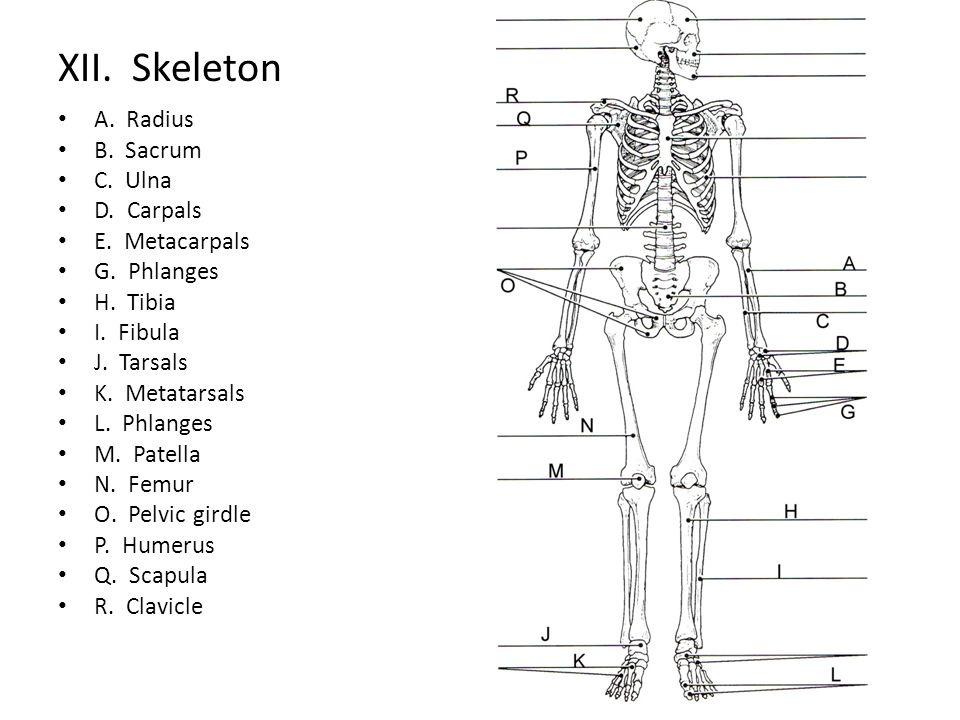 XII. Skeleton A. Radius B. Sacrum C. Ulna D. Carpals E. Metacarpals