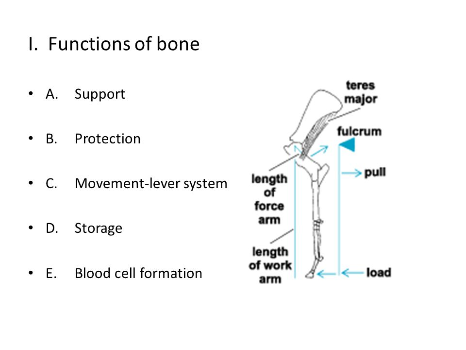 I. Functions of bone A. Support B. Protection C. Movement-lever system