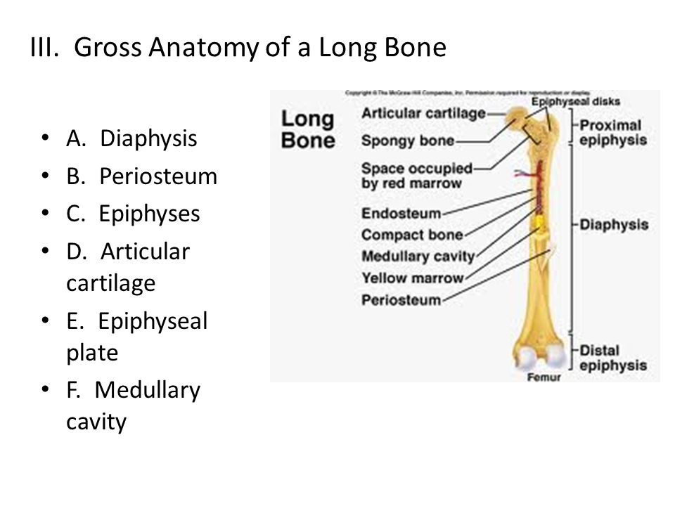 III. Gross Anatomy of a Long Bone