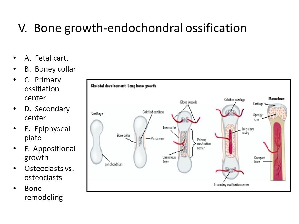 V. Bone growth-endochondral ossification