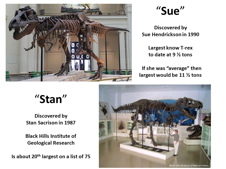 Sue Stan Discovered by Sue Hendrickson in 1990 Largest know T-rex