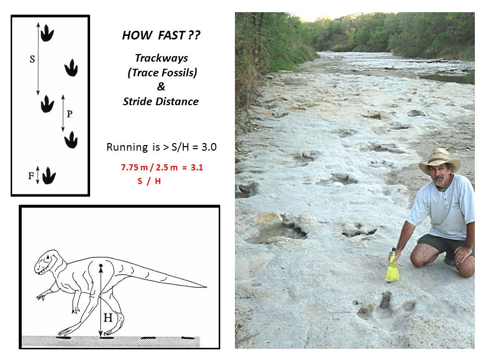 HOW FAST Trackways (Trace Fossils) & Stride Distance