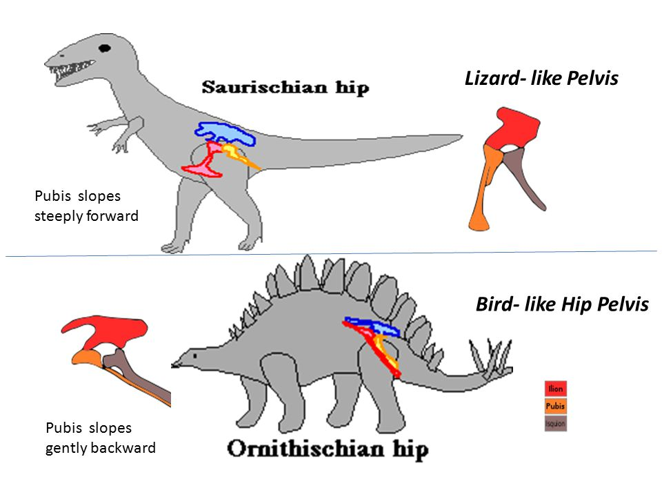 Lizard- like Pelvis Bird- like Hip Pelvis Pubis slopes steeply forward