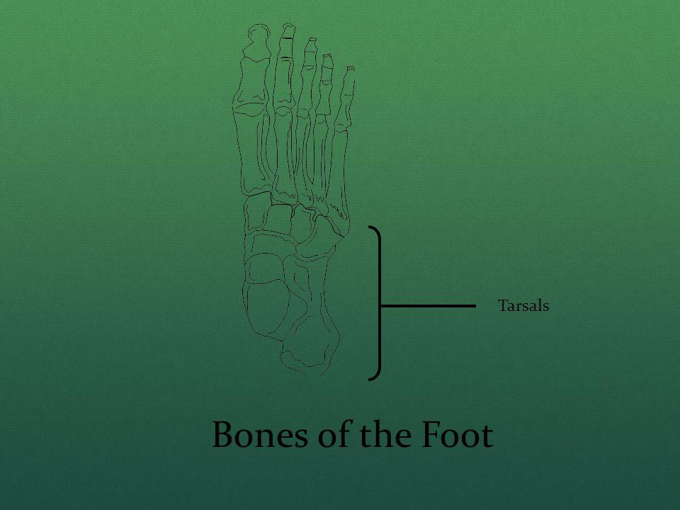 Tarsals Bones of the Foot
