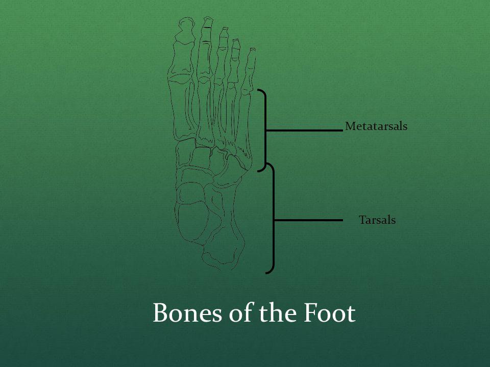 Metatarsals Tarsals Bones of the Foot