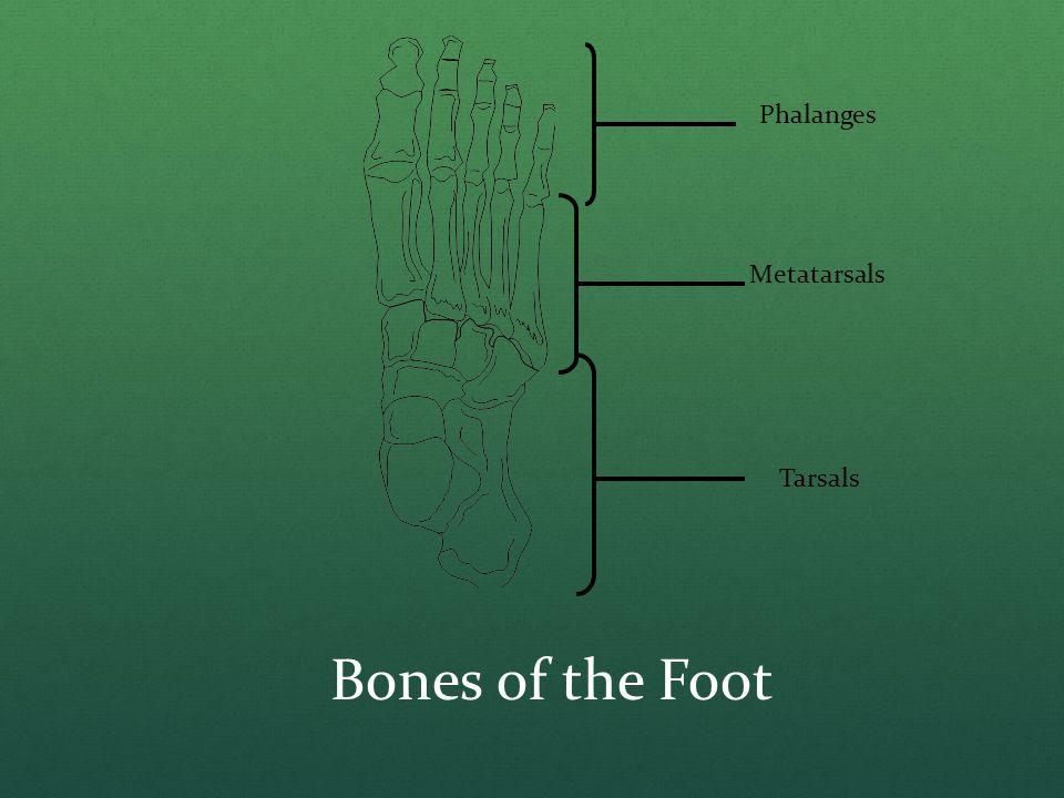 Phalanges Metatarsals Tarsals Bones of the Foot