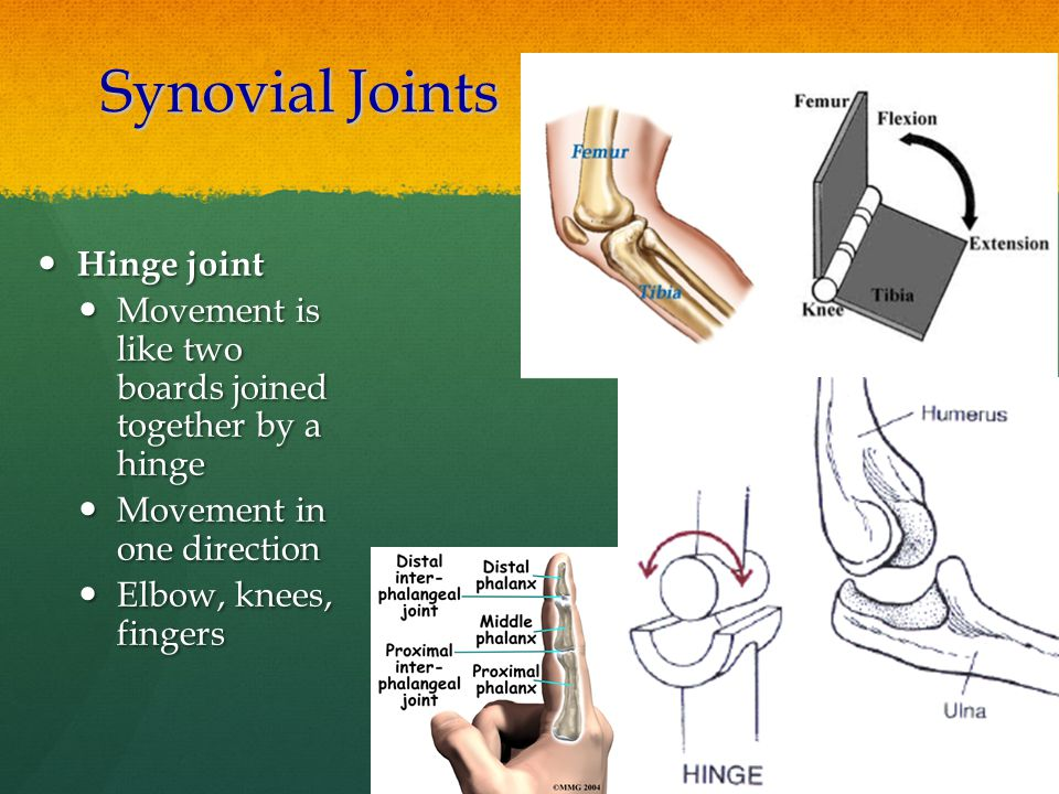 Synovial Joints Hinge joint