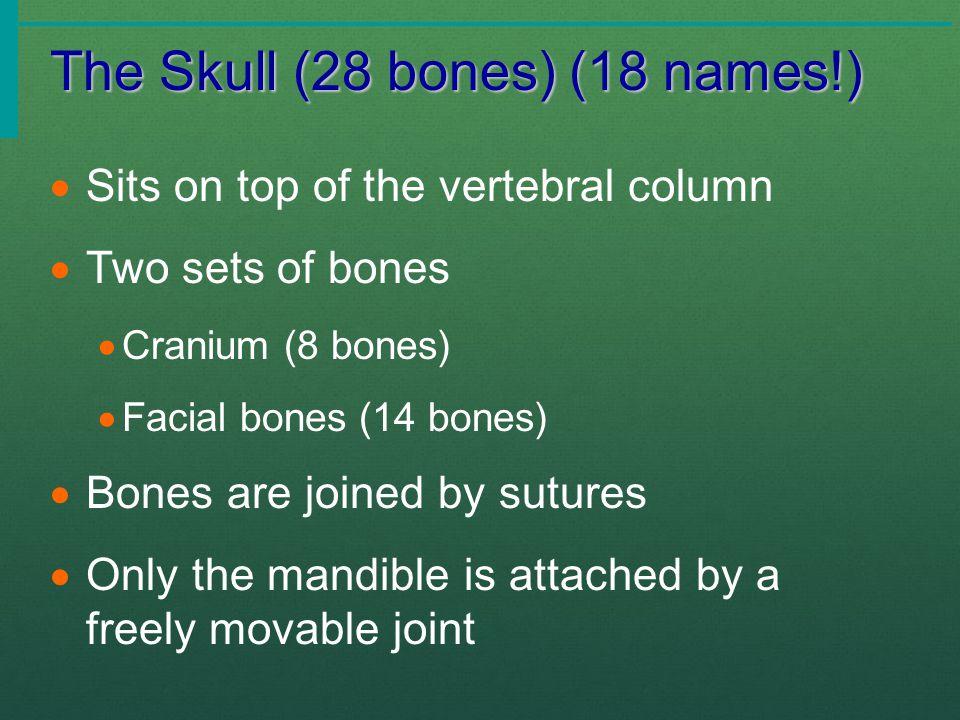 The Skull (28 bones) (18 names!)