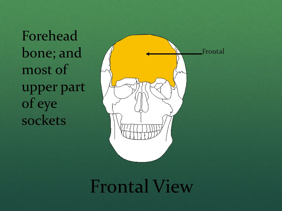 Frontal View Forehead bone; and most of upper part of eye sockets