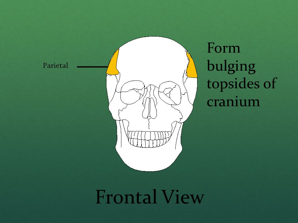 Form bulging topsides of cranium
