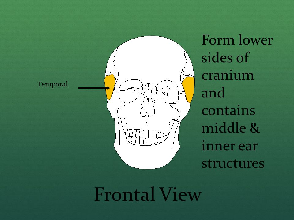 Form lower sides of cranium and contains middle & inner ear structures
