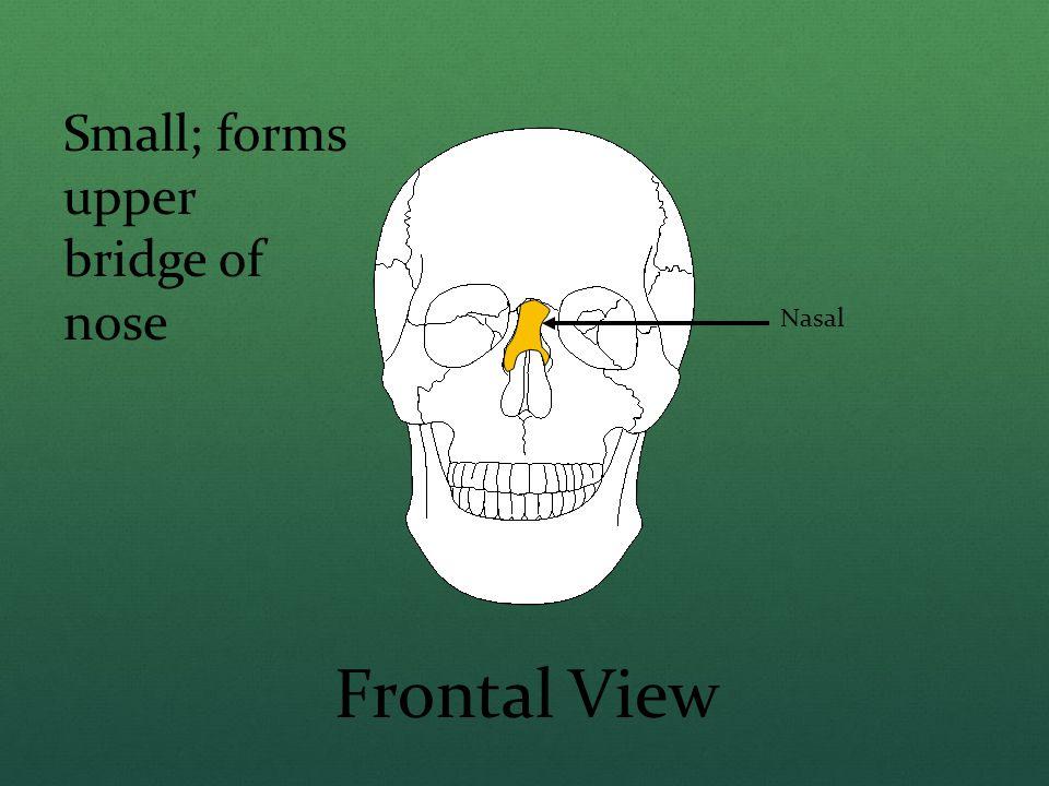Small; forms upper bridge of nose