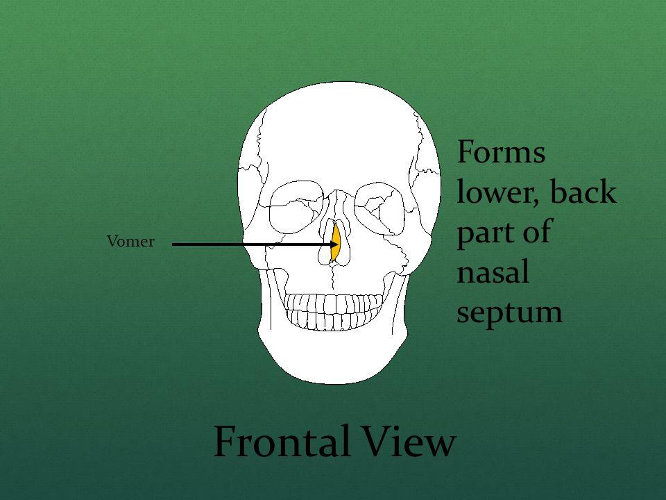 Forms lower, back part of nasal septum