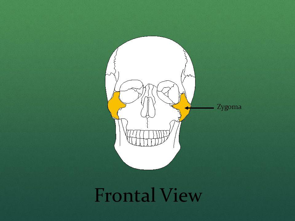 Zygoma Frontal View