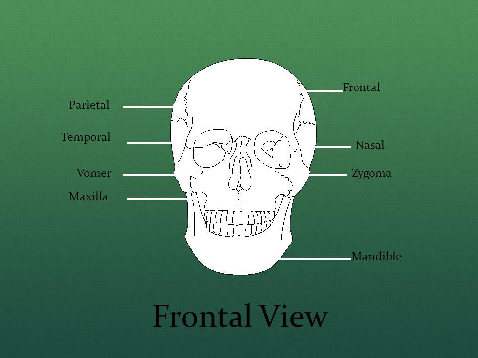 Frontal View Frontal Parietal Temporal Nasal Vomer Zygoma Maxilla