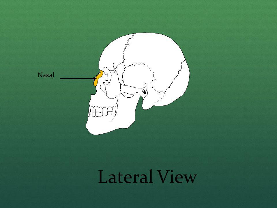Nasal Lateral View