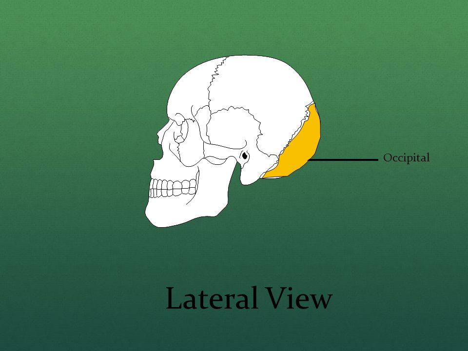 Occipital Lateral View