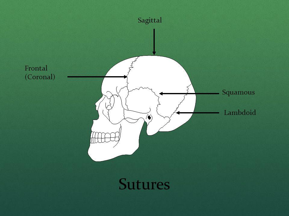 Sagittal Frontal (Coronal) Squamous Lambdoid Sutures