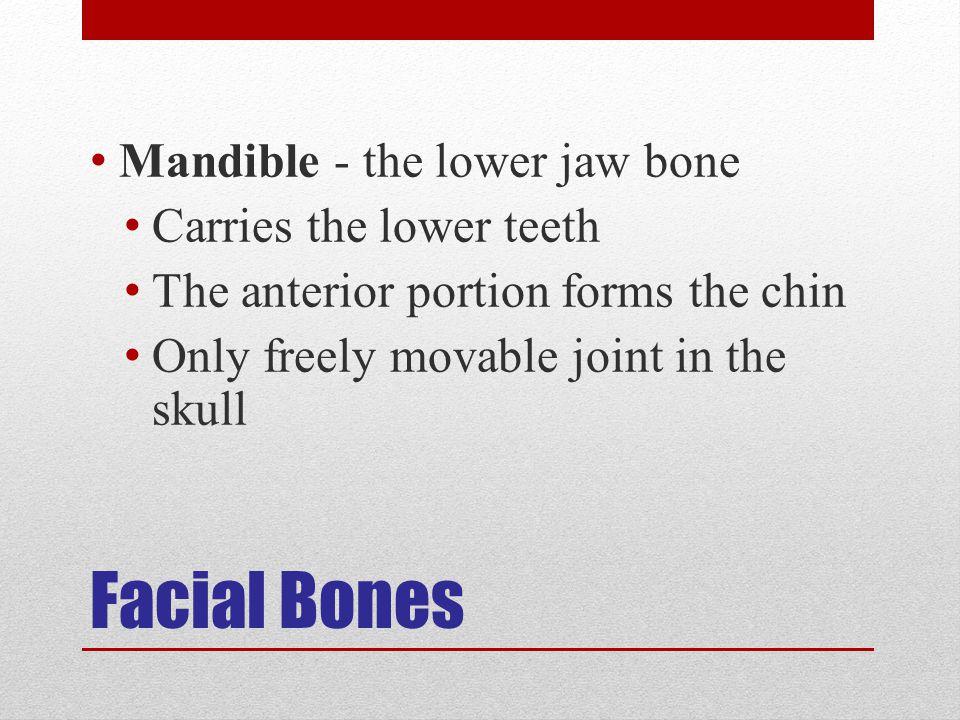 Facial Bones Mandible - the lower jaw bone Carries the lower teeth