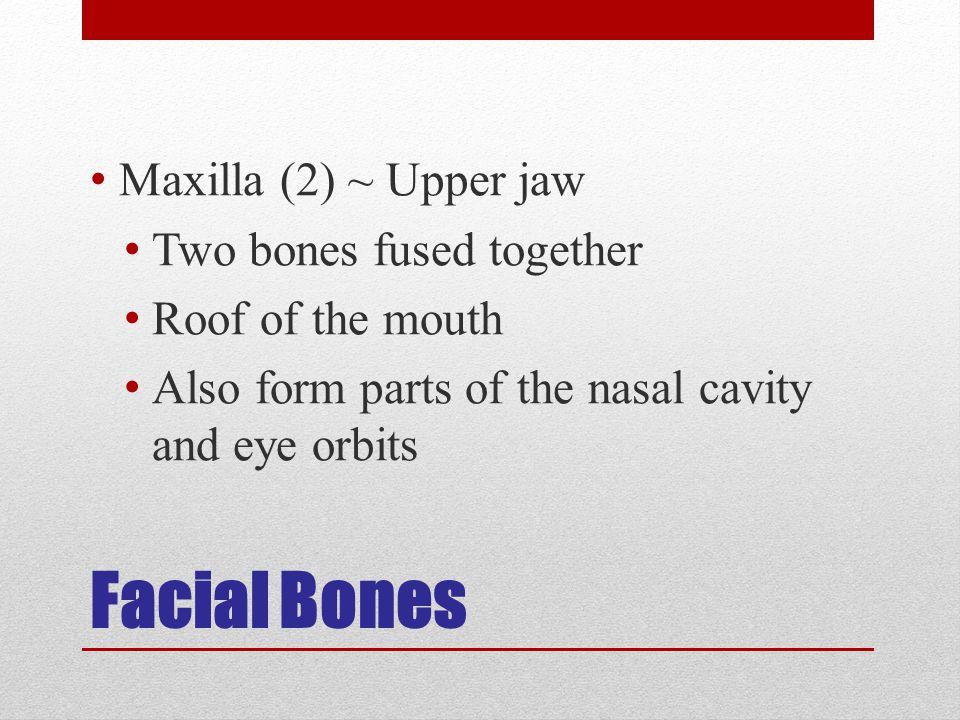 Facial Bones Maxilla (2) ~ Upper jaw Two bones fused together