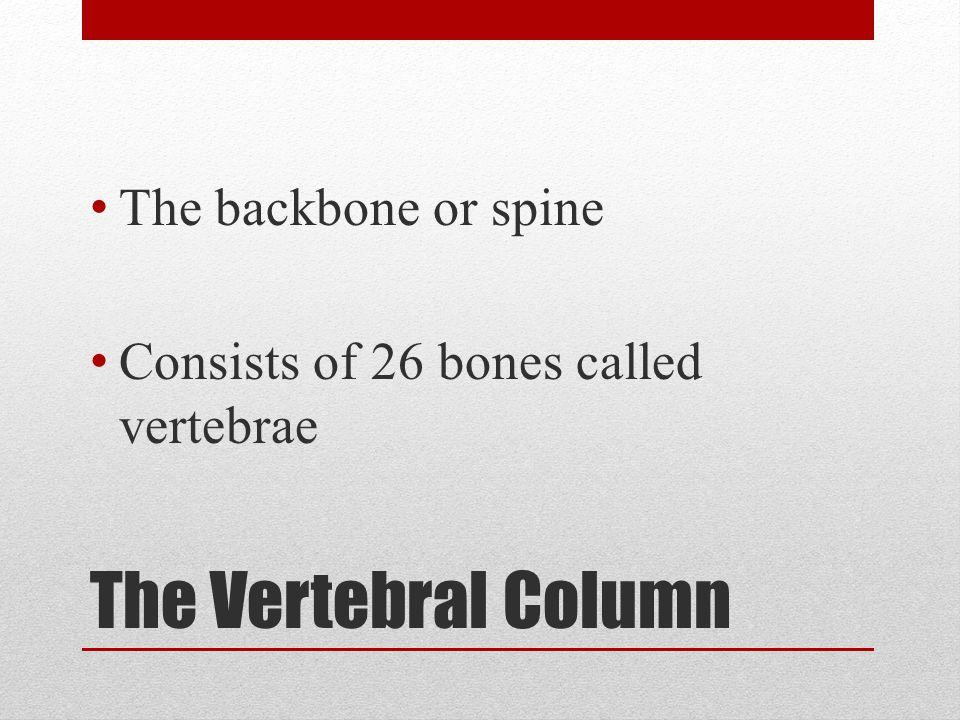 The Vertebral Column The backbone or spine