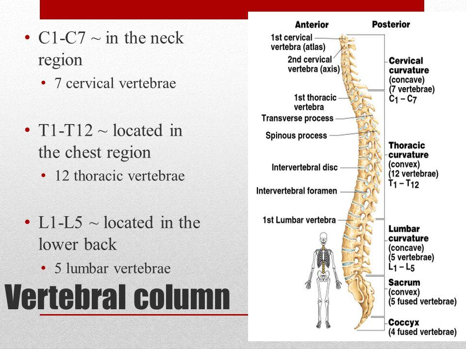 Vertebral column C1-C7 ~ in the neck region