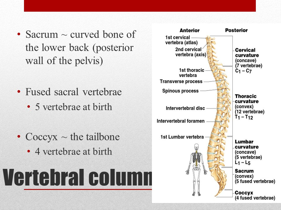 Sacrum ~ curved bone of the lower back (posterior wall of the pelvis)