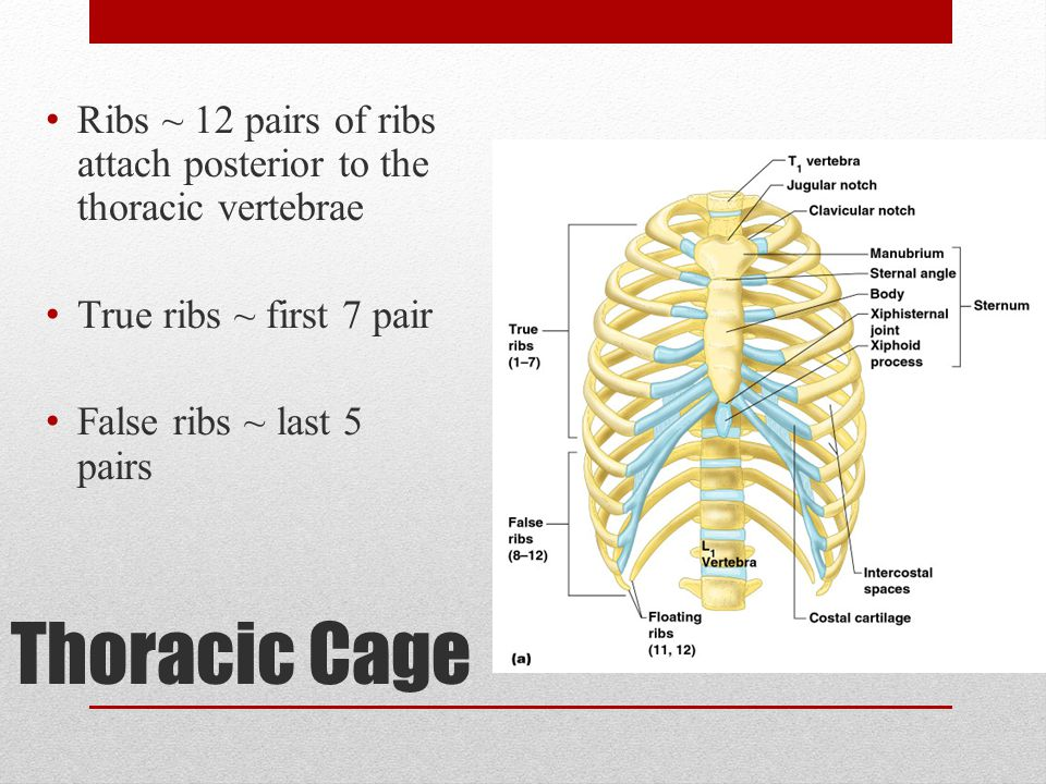 Ribs ~ 12 pairs of ribs attach posterior to the thoracic vertebrae