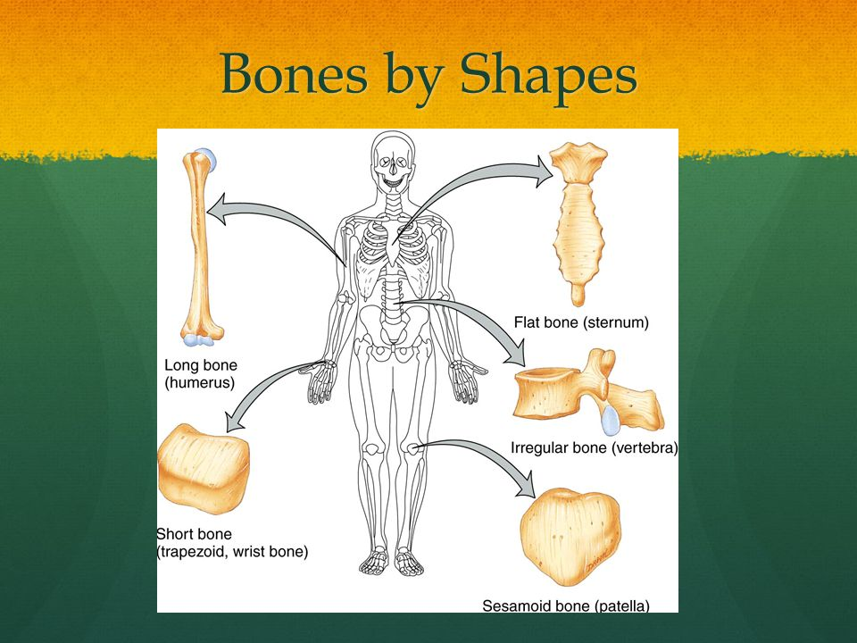 Bones by Shapes