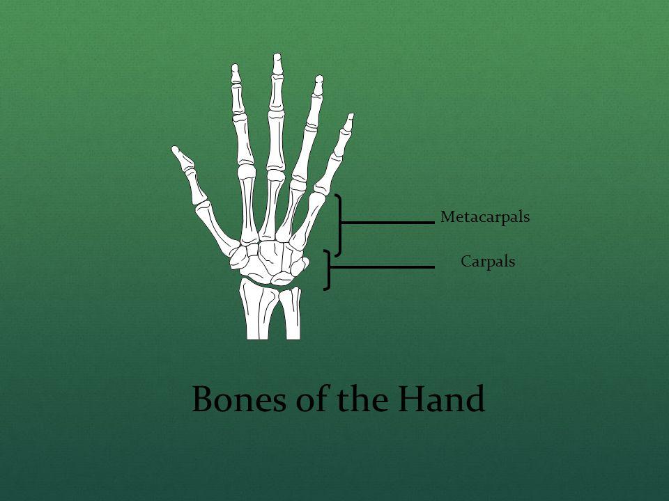 Metacarpals Carpals Bones of the Hand