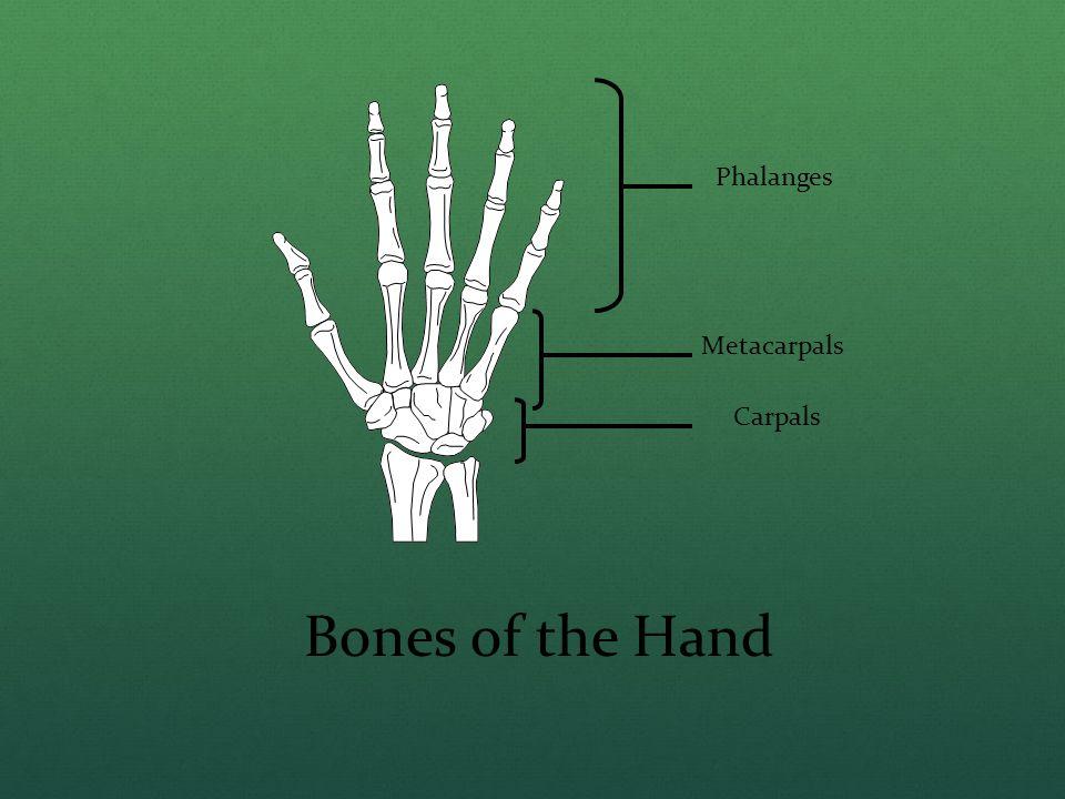 Phalanges Metacarpals Carpals Bones of the Hand