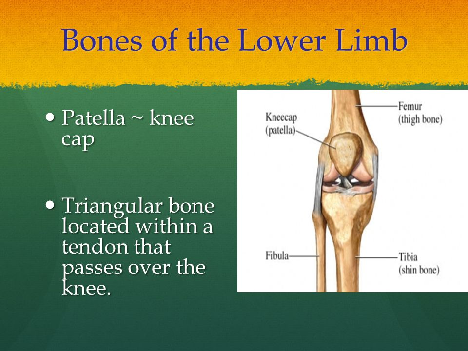 Bones of the Lower Limb Patella ~ knee cap