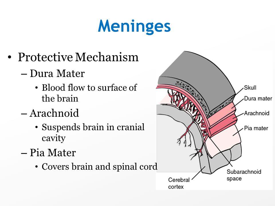 Meninges Protective Mechanism Dura Mater Arachnoid Pia Mater