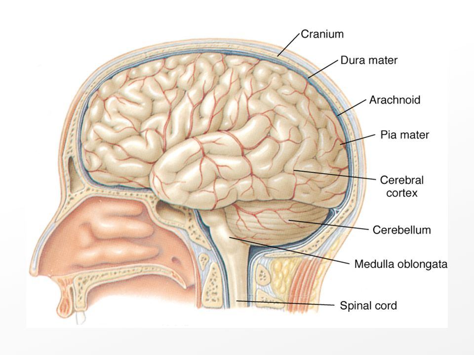 The Meninges and Skull