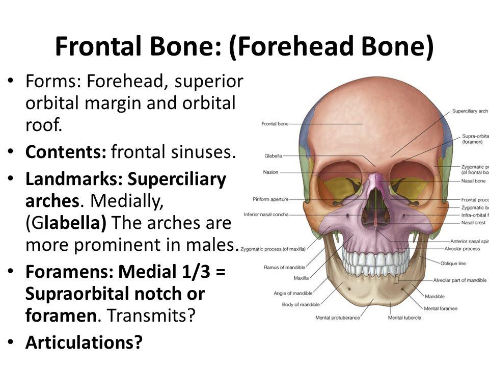 Frontal Bone: (Forehead Bone)