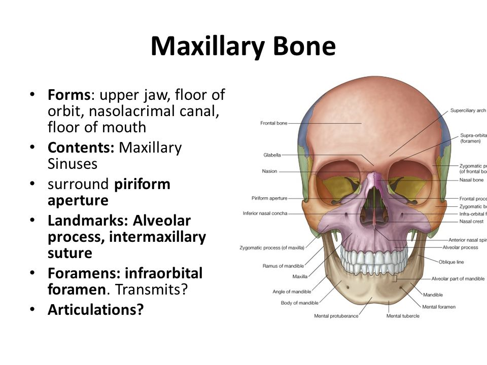 Maxillary Bone Forms: upper jaw, floor of orbit, nasolacrimal canal, floor of mouth. Contents: Maxillary Sinuses.