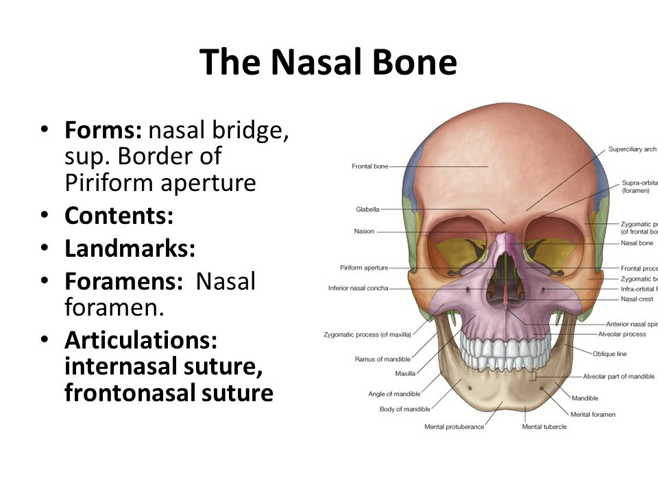 The Nasal Bone Forms: nasal bridge, sup. Border of Piriform aperture